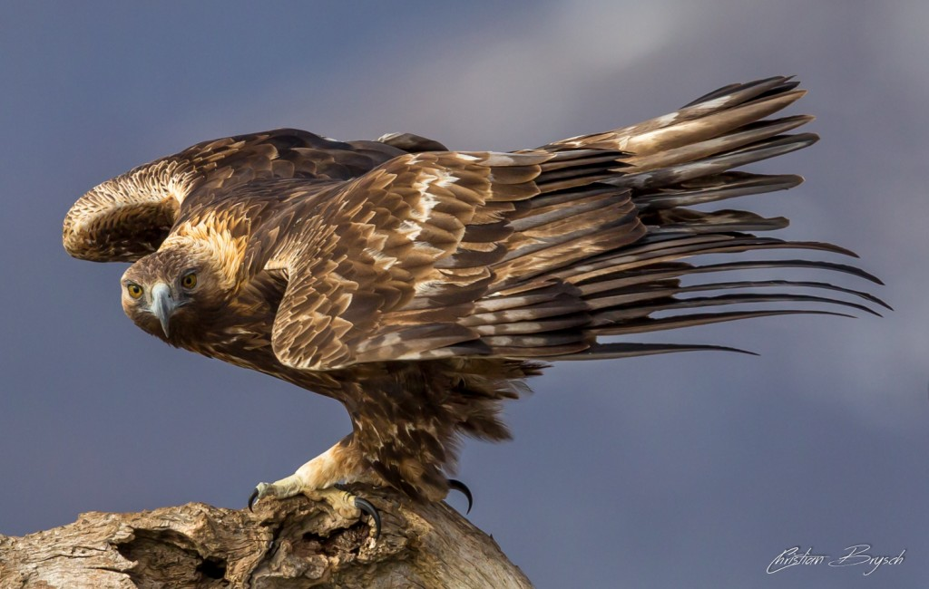 Golden eagle - aquila chrysaetos - -Steinadler