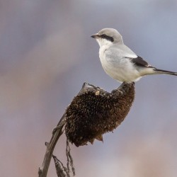 Great Grey Shrike - Lanius excubitor
