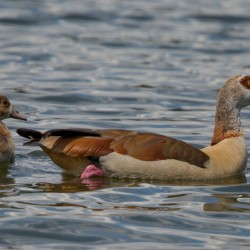 christian brysch nature enthusiastic eider egyptian goose