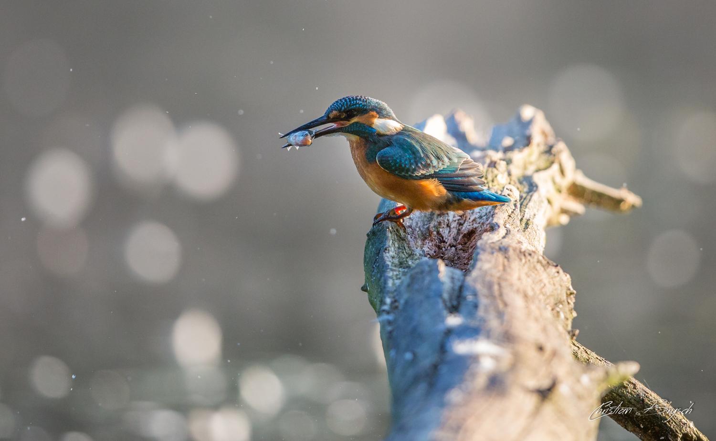 Kingfisher - Alcedo atthis - Eisvogel