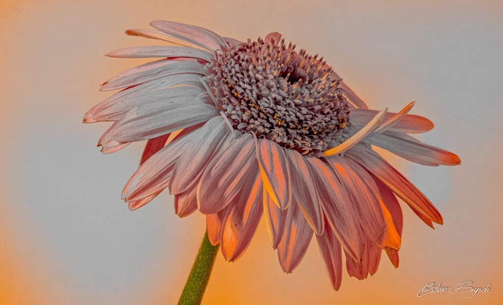 Blume (C)