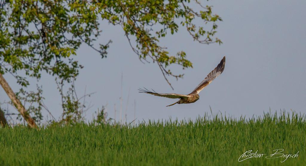 Rohrweihe - Marsh Harrier - Circus aeruginosus